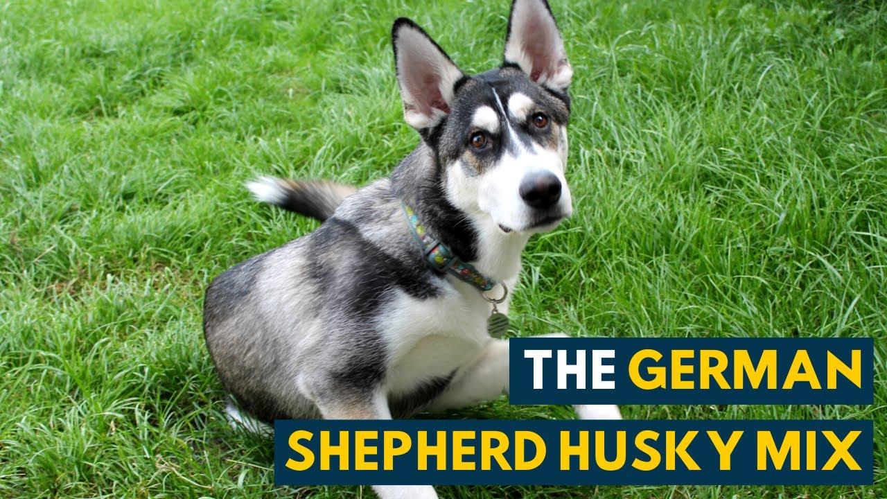 Half German Shepherd and Half Siberian Husky, the German Shepherd Husky mix is a strong, independent and intelligent dog.